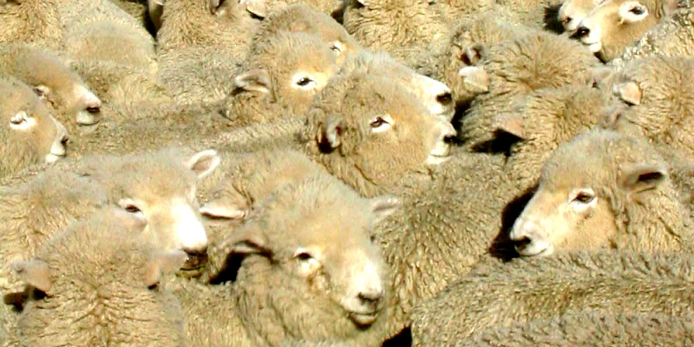 FT NEW ZEALAND Lorne Peak sheep penned
