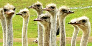 FT NEW ZEALAND Waitomo ostriches_edited-1