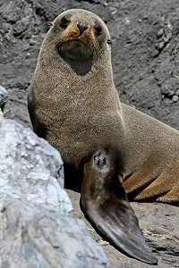 NEW ZEALAND Cape Foulwind fur seal pup Pixabay