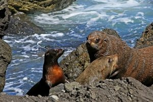 NEW ZEALAND Cape Foulwind fur seals rocky Pixabay