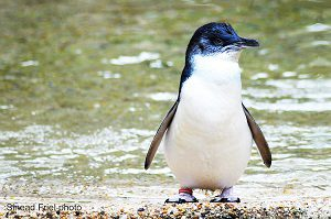 MAP NEW ZEALAND blue penguin CC2 Suead Friel photo